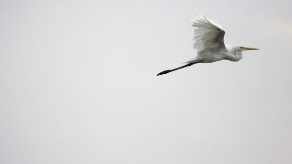 aigrette-flying
