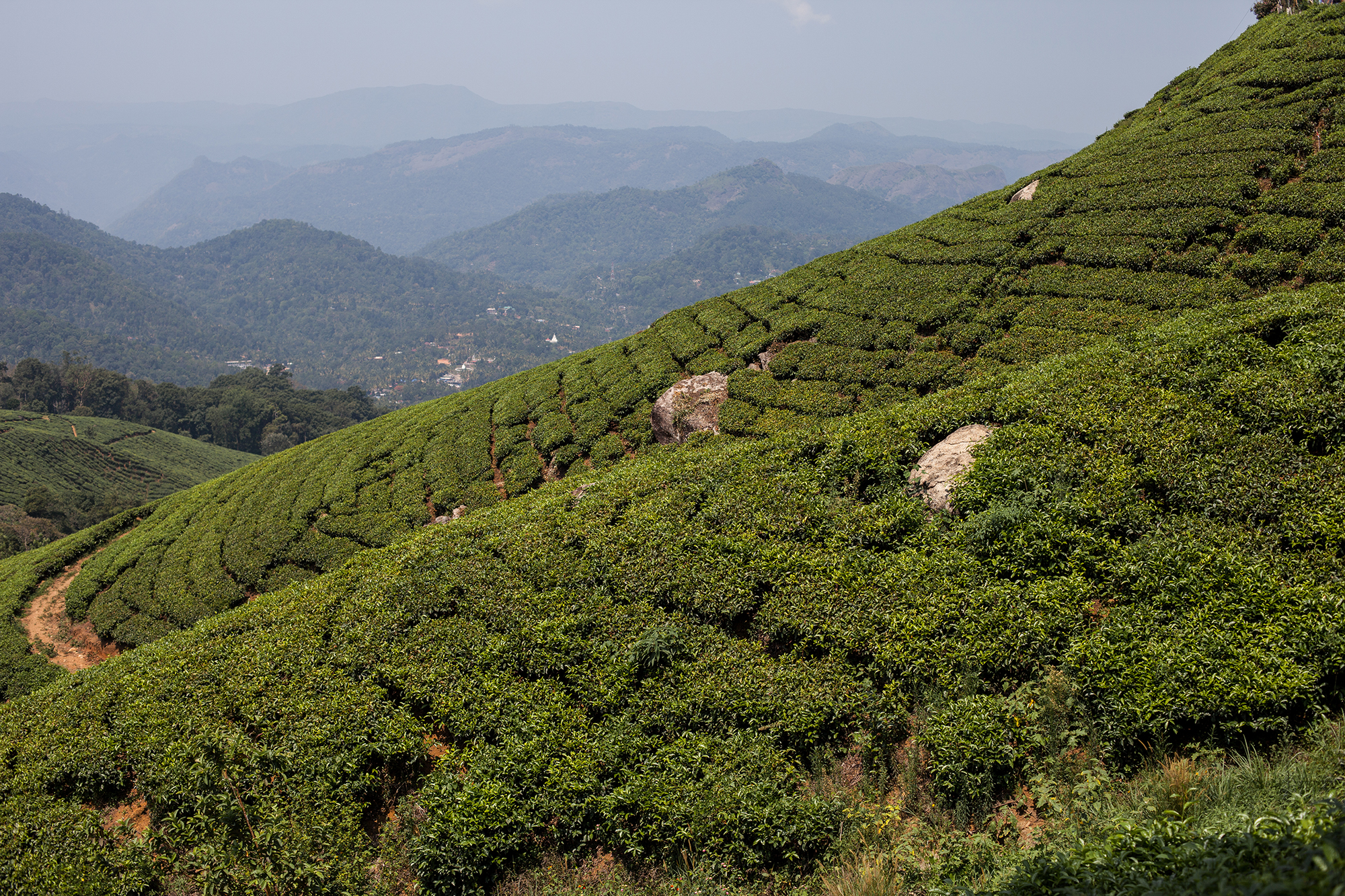 Steep tea plantation